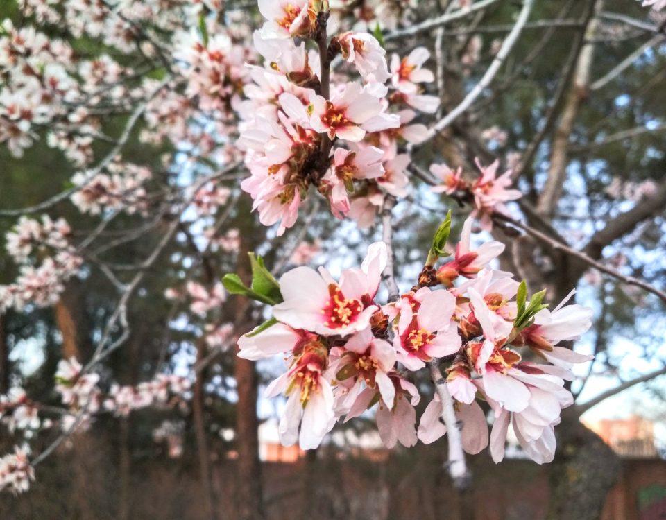 Primavera, almendro en floración